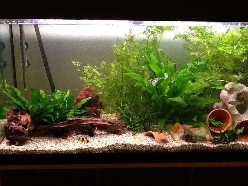 Для содержания гурами необходим просторный аквариум