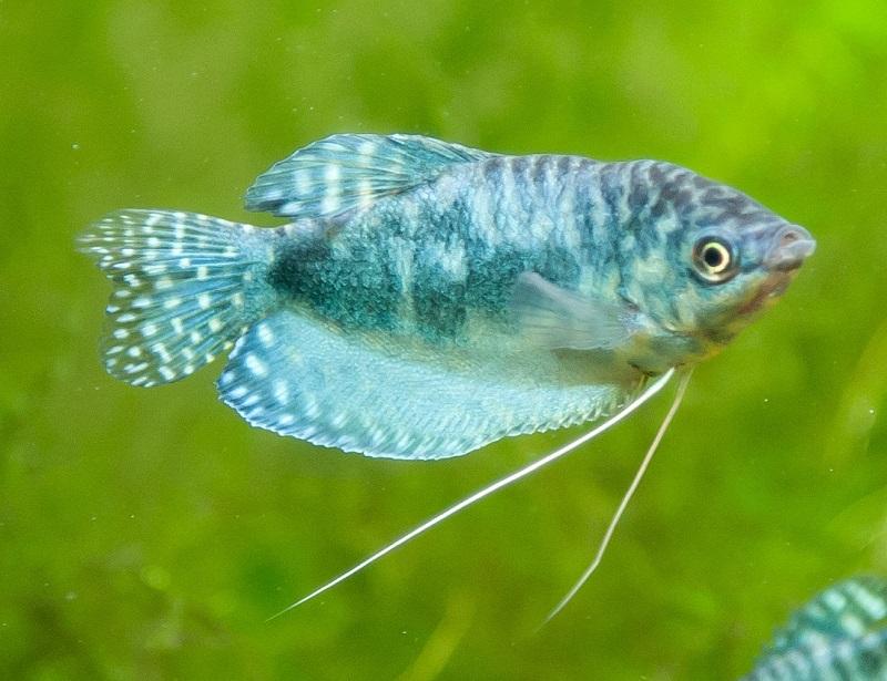При необычных изменениях во внешнем виде или в поведении следует отсадить рыбку в другой резервуар
