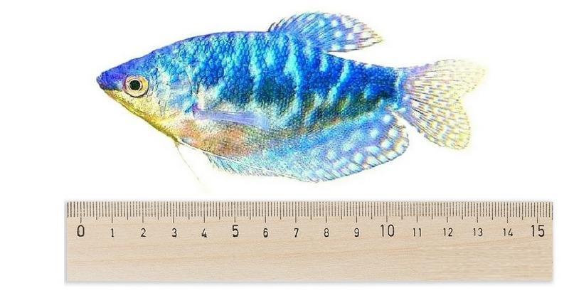 Размер мраморного подвида составляет 8–13 см