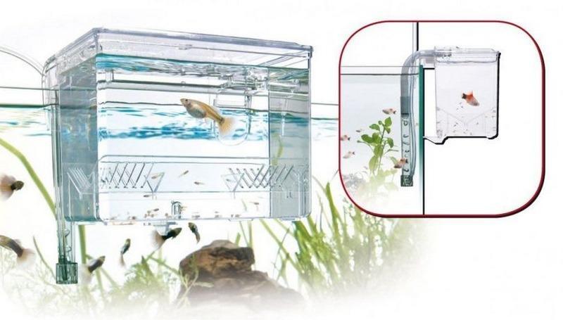 Желательно, чтобы аквариум для нереста был объемом не менее 50 литров