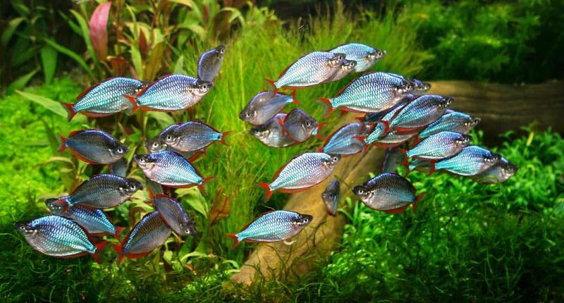 Неоновая радужница очень популярна среди аквариумистов