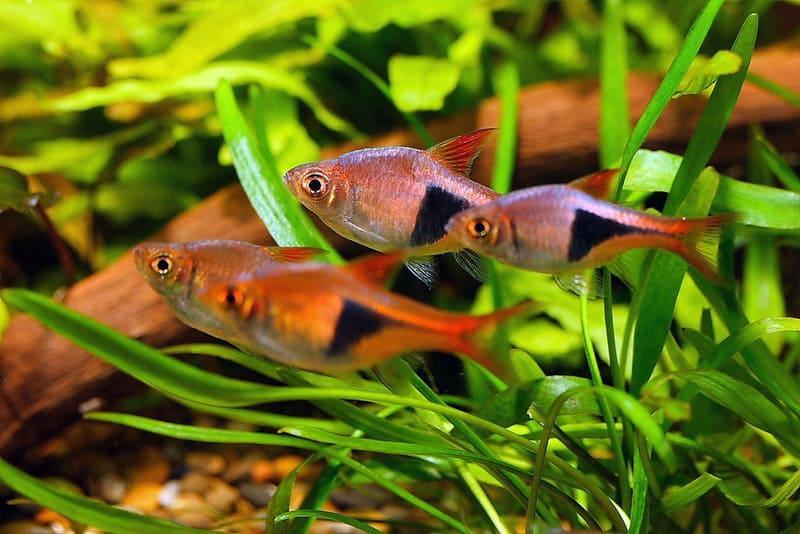 Расбора клинопятнистая является одной из самых популярных рыбок