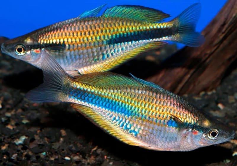 Меланотения Блехера - очень миролюбивая рыба