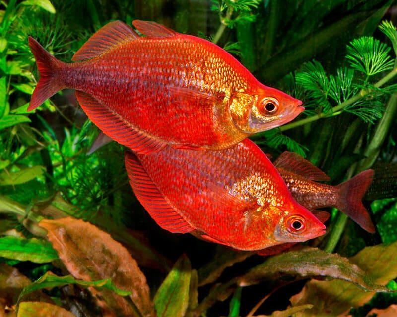 Атерина красная любит мелководье и густую растительность
