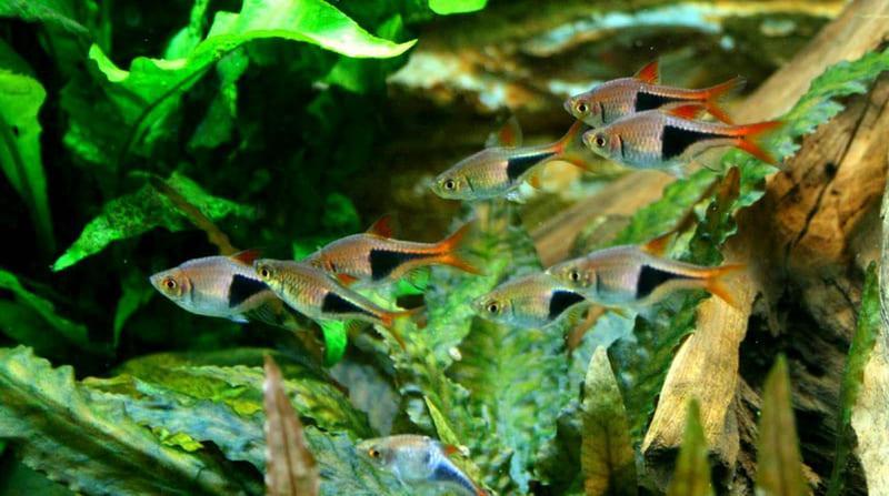 Разводить расбору можно и в аквариумных условиях