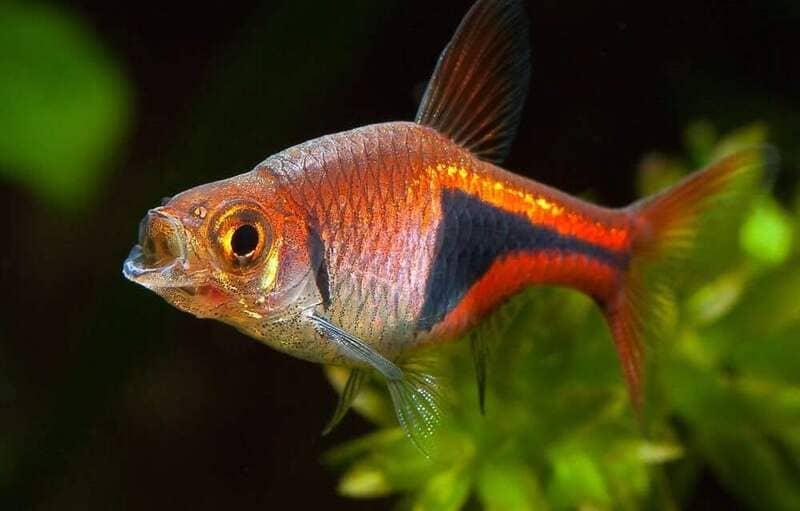 Отравление случается, когда рыба съедает некачественный корм