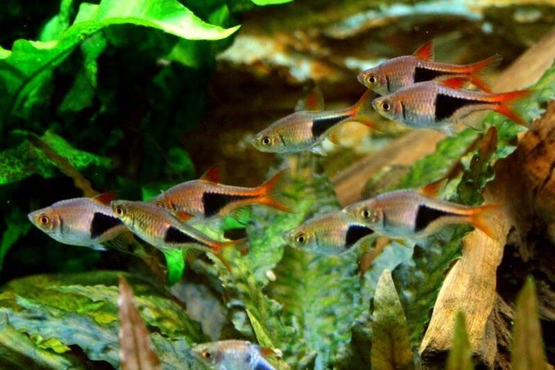 Приобретая расбору, лучше отдавать предпочтение небольшим рыбкам