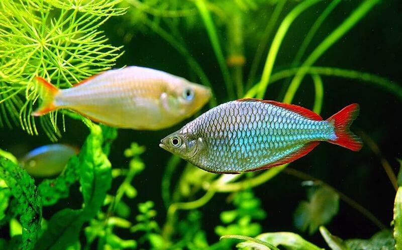 У самок окрас чешуи бледный, у самцов более яркий