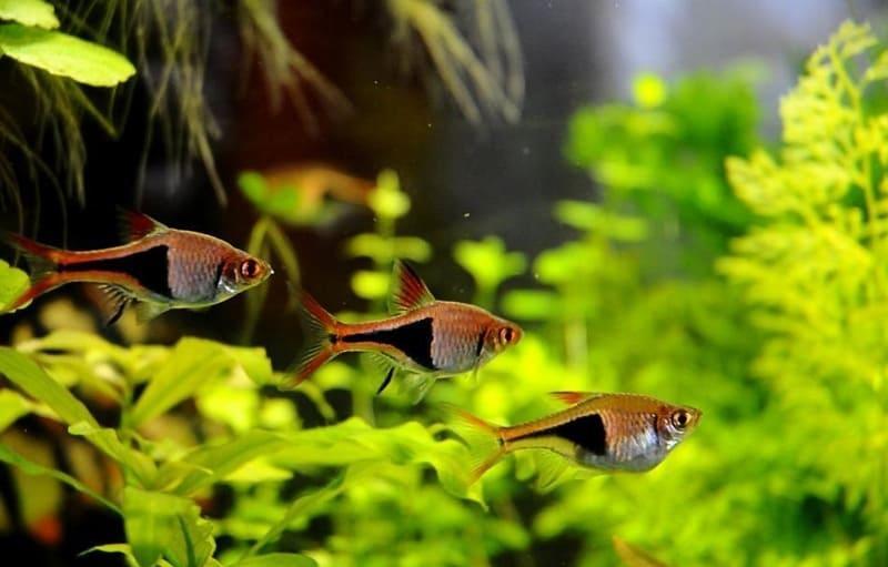 Рыбка обитает в пресных водах Таиланда, Малайзии, Сингапура и Суматры