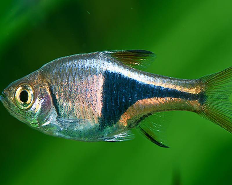 Голубой Арлекин - один из самых дорогостоящих видов расбор
