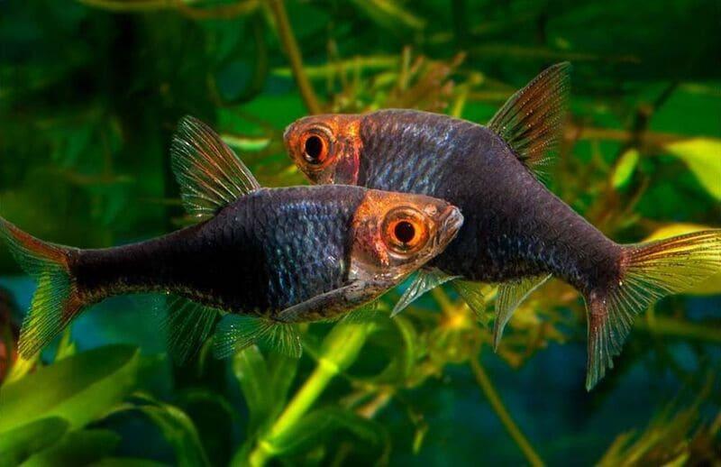 Черный Арлекин имеет темную окраску от самой головы и до кончика хвоста