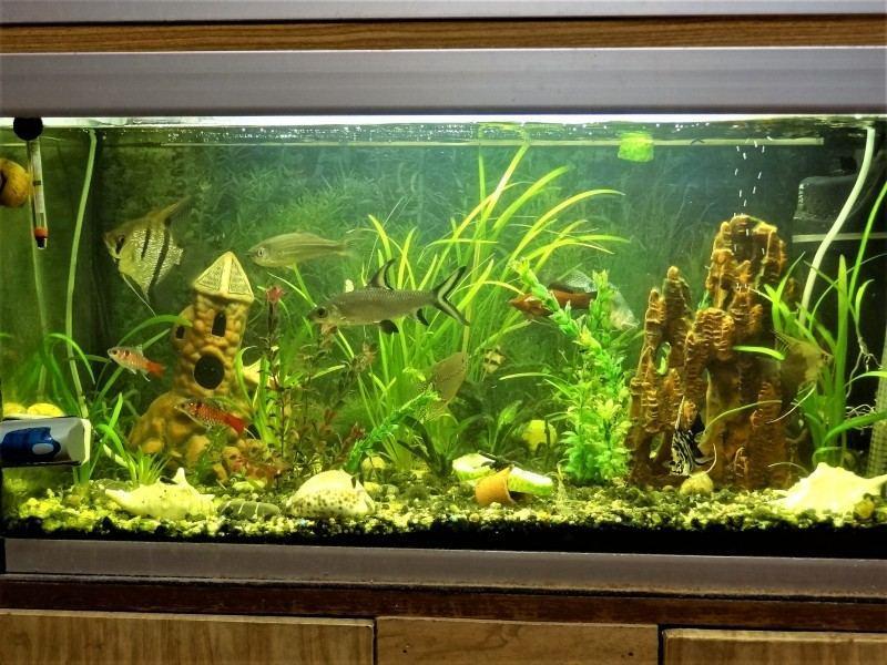 Для жемчужных гурами необходим просторный аквариум, объемом не менее 50 литров
