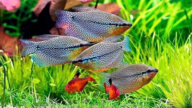Гурами обладают спокойным характером, поэтому легко уживаются со всеми неагрессивными рыбками