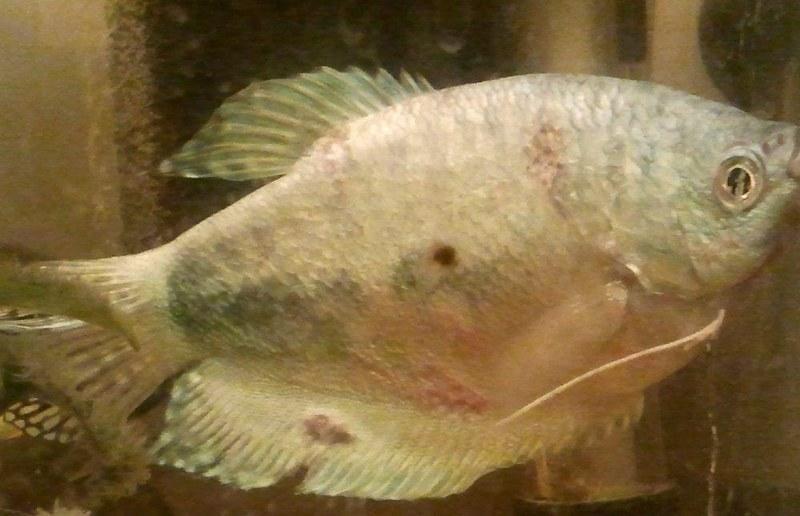 Лимфоцистоз - это вирус, поражающий чешую рыб