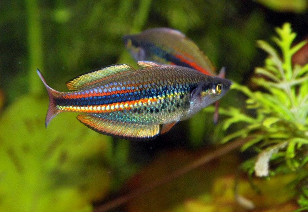 радужницы в нано аквариумах фото общебольничная отличается устойчивым