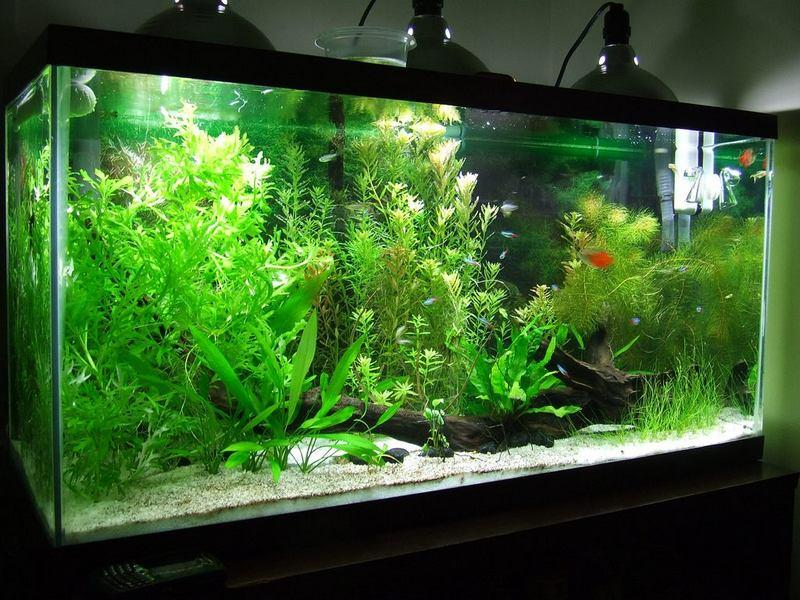 Освещение в аквариуме следует приглушать с помощью растений на поверхности воды