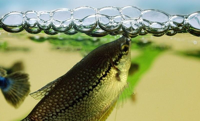 Самец гурами создает пенный шарик из пузырьков воздуха и своей слюны