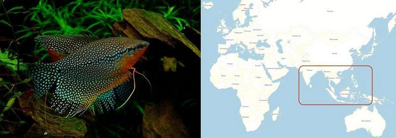 В природе жемчужного гурами можно встретить в водоемах Малайзии, Вьетнама, Таиланда
