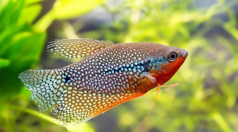 Жемчужный гурами - один из самых красивых представителей лабиринтовых рыб