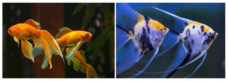 Золотые рыбки и скалярии