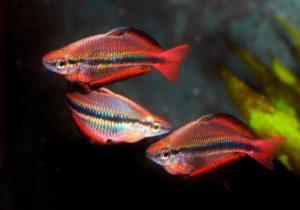 Аквариумная рыбка радужница неоновая: разведение и уход