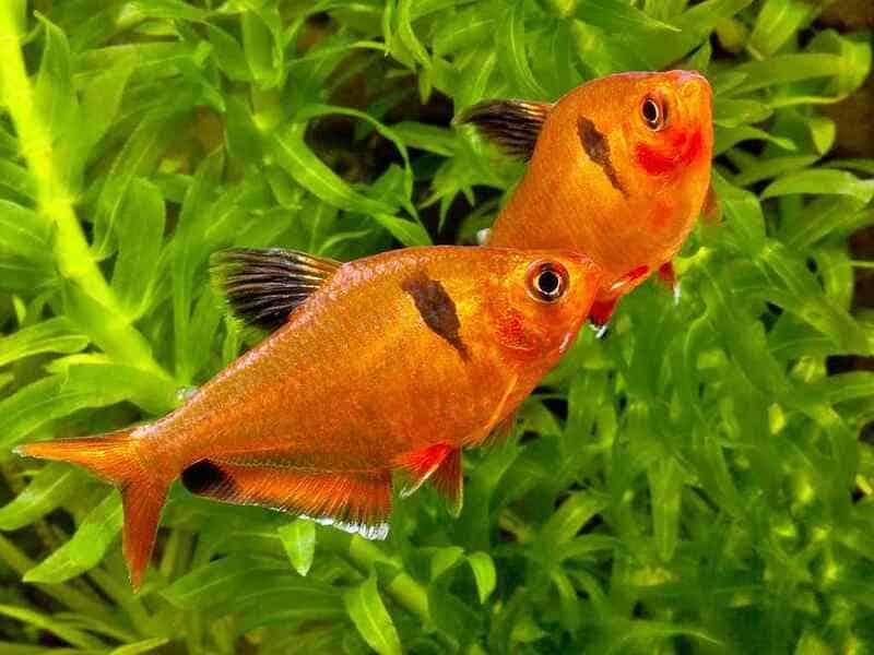 В природе минор живет до 3 лет, в аквариуме до 6 лет