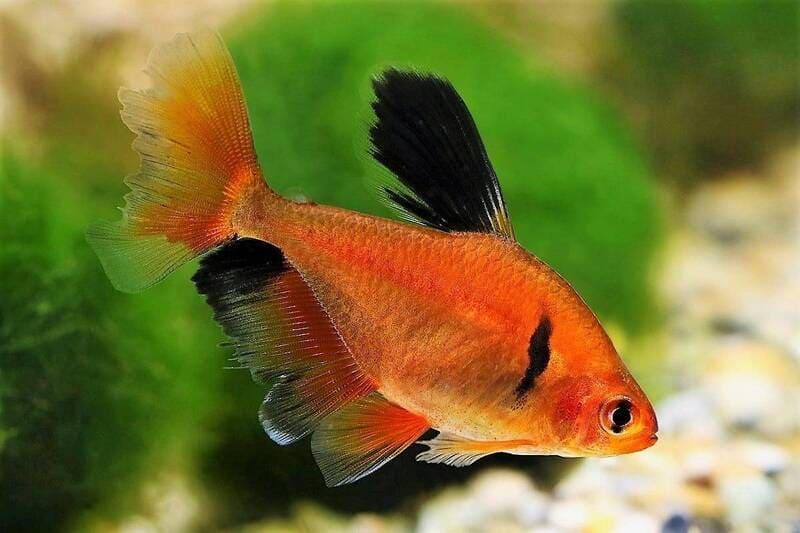 На цвет рыбки влияет состав воды, в которой она обитает