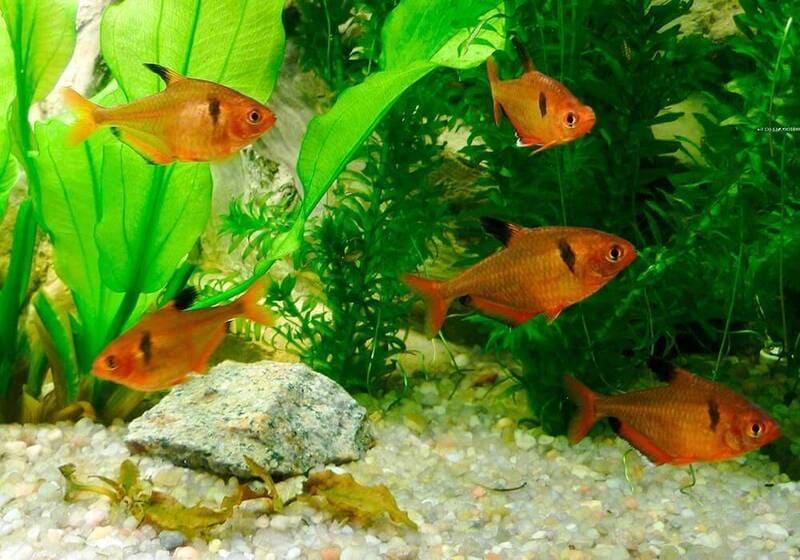 Чем больше пространства в аквариуме, тем лучше для минора