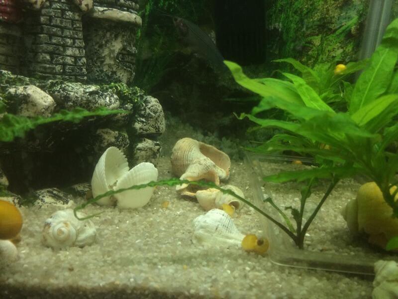 Декорировать аквариум можно камнями, ракушками