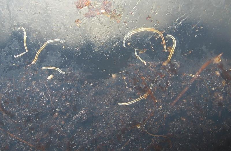Paraziti v akvariu. Viermi albi în acvariu - Paraziti v akvariu