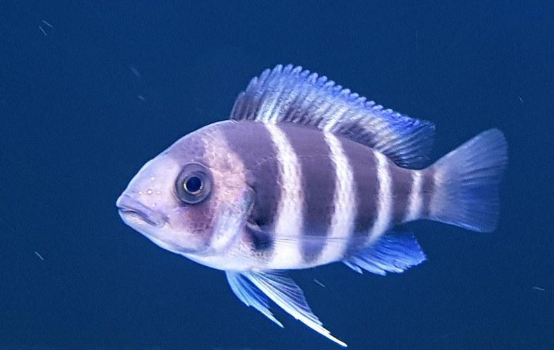 Фронтоза - крупная рыбка, которая способна вырастать до 35-40 см