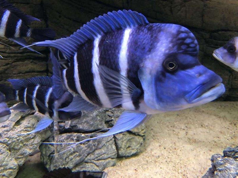 Фронтозы имеют бело-голубое тело с темными поперечными полосками и жировой нарост над головой