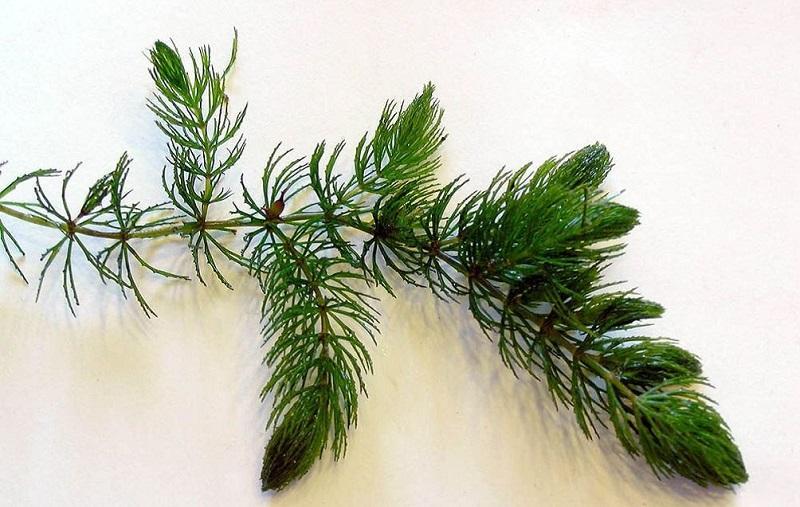 Роголистник (аквариумное растение): содержание полезного цератофиллума