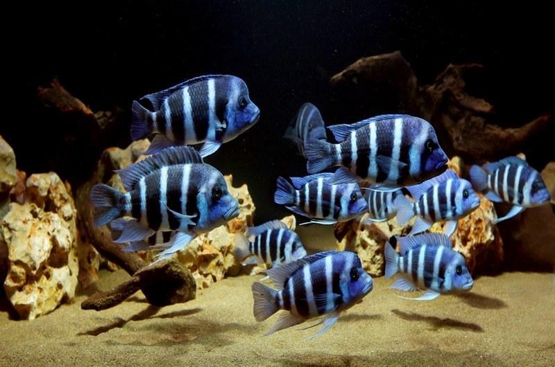 Яркий окрас рыбок свидетельствует об их здоровье