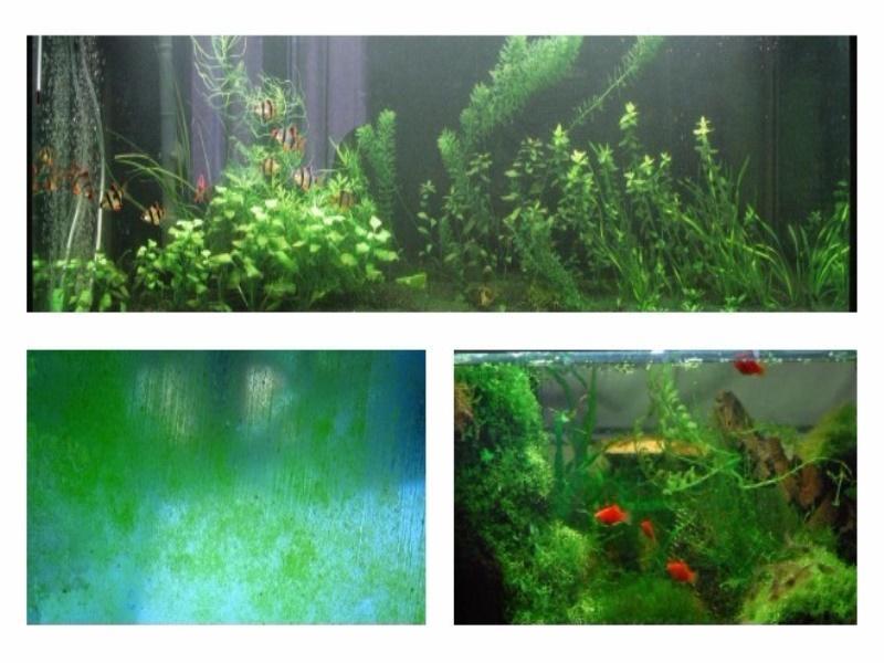 Почему на стенках аквариума появляется зелень симптомы и причины
