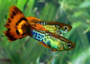 Живородящие рыбки гуппи