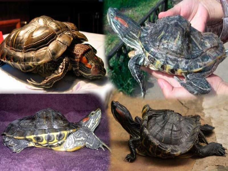 болезни красноухой черепахи кожные болезни
