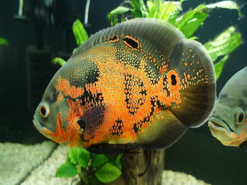 хищные рыбы название фото аквариумные подруга, знакомая, любимая