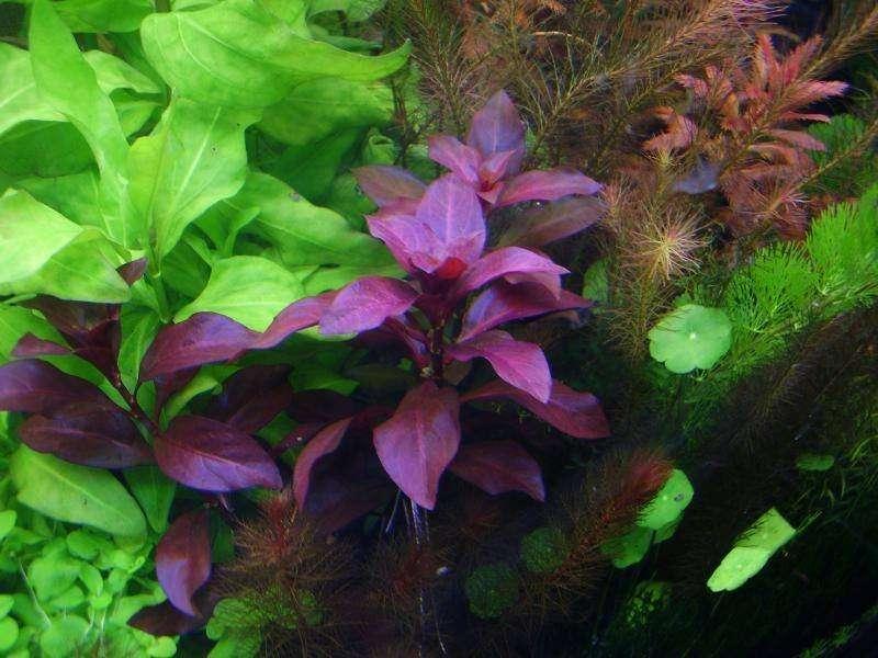 неприхотливые аквариумные растения1