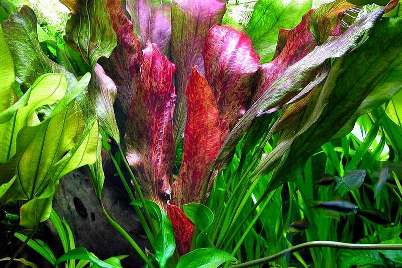 Эхинодорус - водное растение для оформления аквариума