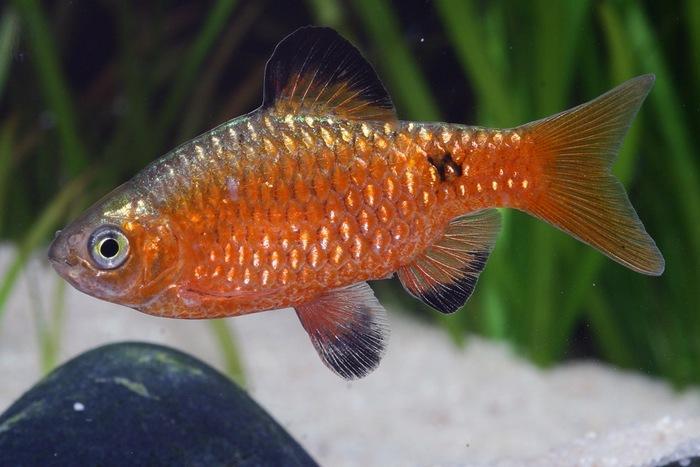 Огненный барбус – эффектная аквариумная рыбка с ярким окрасом
