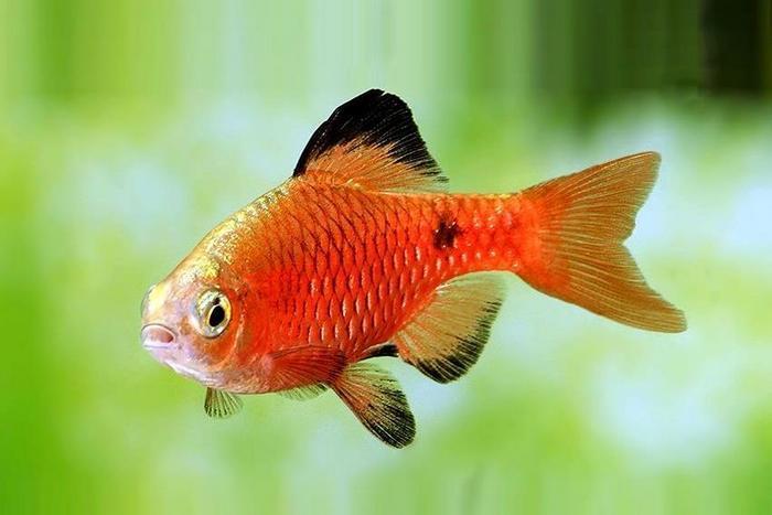 Рыба с красновато-золотым цветом тела, хвост имеет окраску от солнечно-желтого до алого