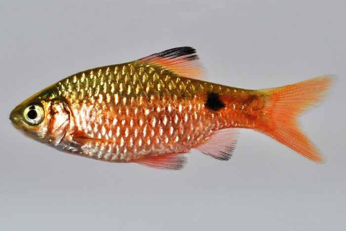 Рыбка обладает запоминающейся внешностью
