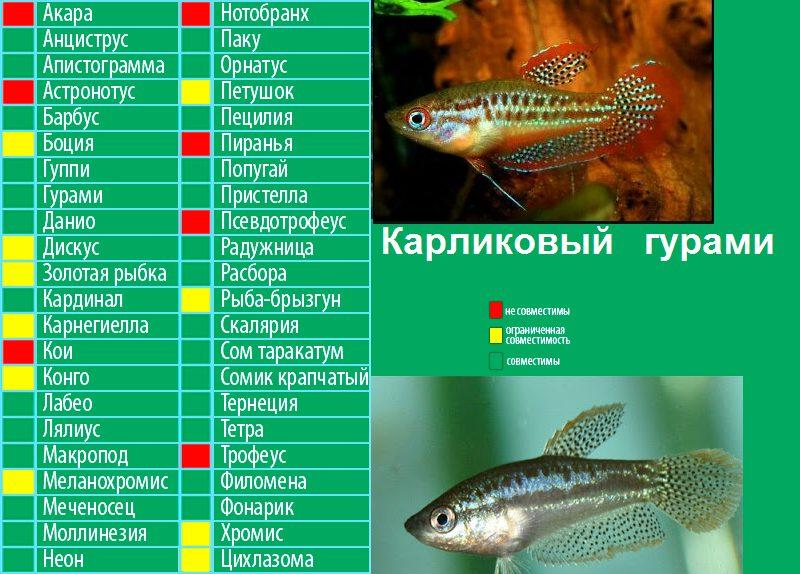 Совместимость карликовых гурами с другими рыбами