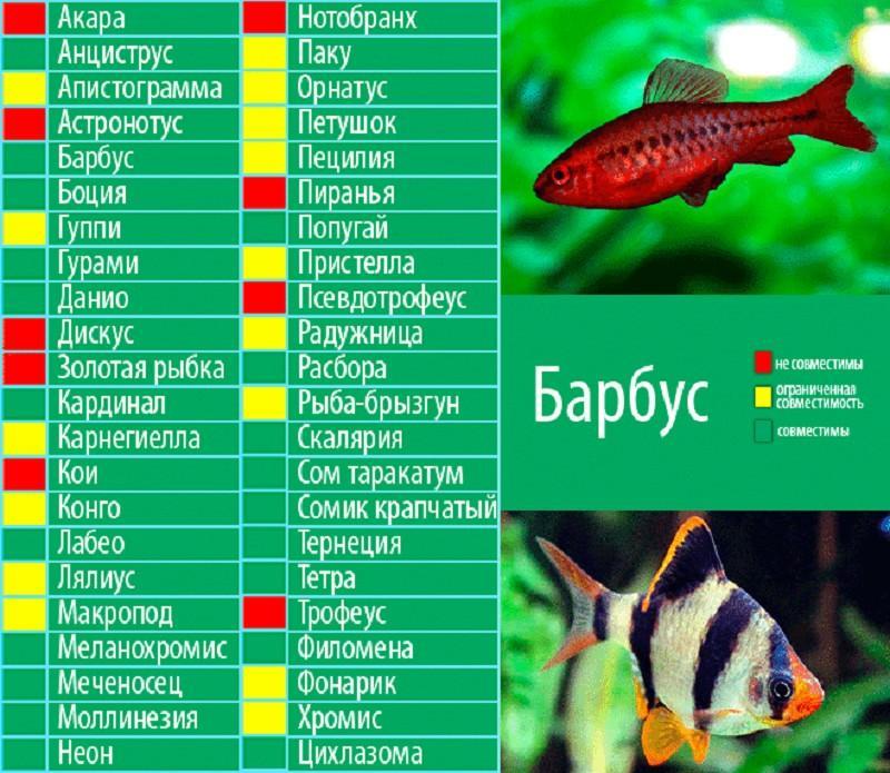 У барбусов хорошая совместимость с активными рыбками без длинных плавников