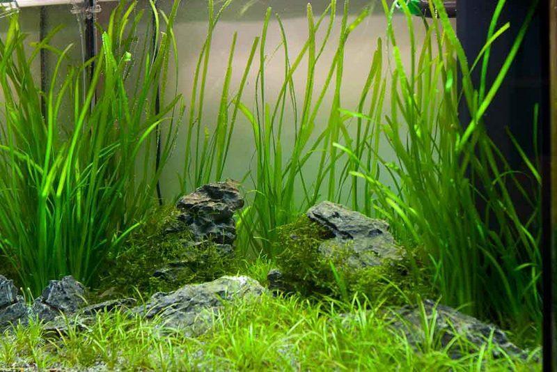 Валлиснерия - декоративное аквариумное растение
