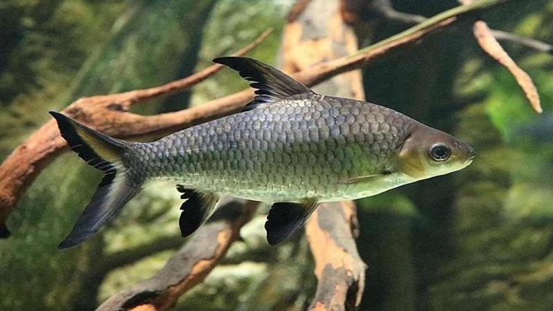 Акулий балу - пресноводная рыба, которая принадлежит семейству карповых