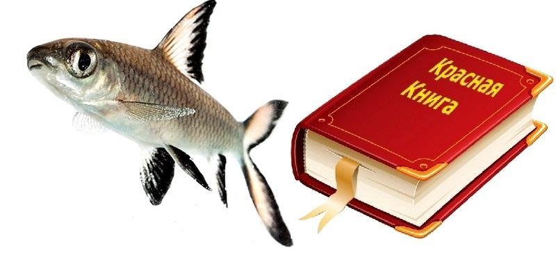 Акулий балу занесен в Красную книгу как исчезающий вид