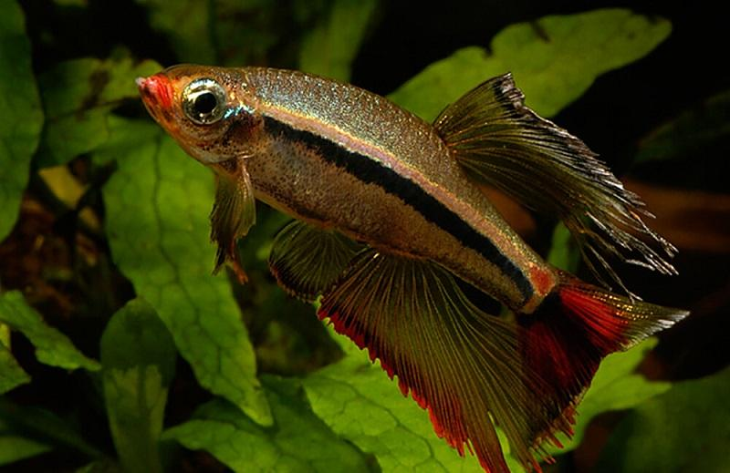 Инбридинг привел к тому, что многие рыбки генетически слабые, склонны к болезням и уродствам