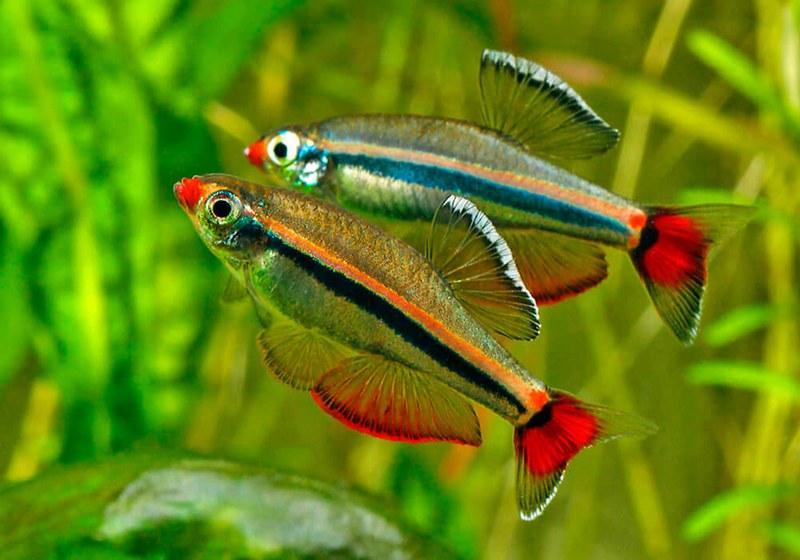 Кардинал - это небольшая холодноводная рыбка из семейства карповых